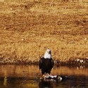 Eagle on the Banks of the South Fork River