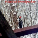 Piliated Woodpecker off the deck